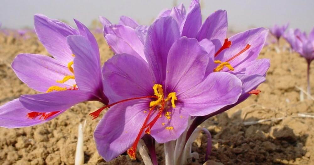 nhuy hoa nghe tay cai thien he ho hap ra sao - Nhụy Hoa Nghệ Tây Giúp Tăng Hệ Thống Miễn Dịch Cơ Thể