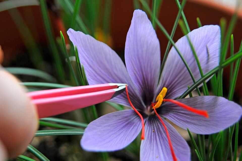 nhuy hoa nghe tay voi ung thu nhu the nao - Saffron Có Thật Sự Giúp Ngăn Ngừa Được Ung Thư