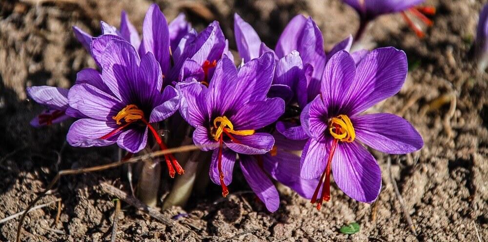 phan biet nhuy hoa nghe tay nhu the nao - Phân Biệt Nhụy Hoa Nghệ Tây Thật Hay Giả Đơn Giản
