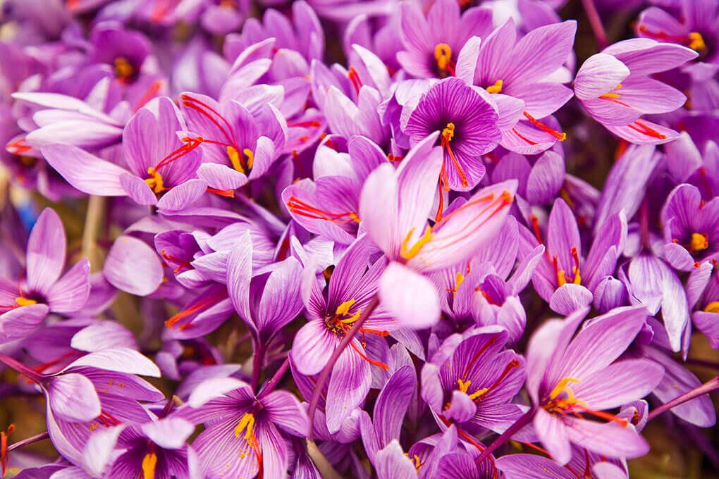 nhuy hoa nghe tay chat luong cao - Nhụy Hoa Nghệ Tây Tăng Cường Cải Thiện Trí Nhớ